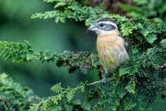 Black-Headed-Grosbeak-Female