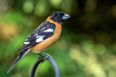 Black-Headed-Grosbeak-Male