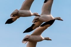Snow-Geese-Flight